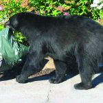 Bears In Montebello REMINDER